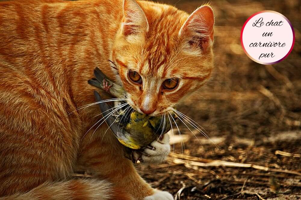 alimentation-chat-carnivore